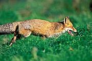 Foto de Naturaleza, Zorro, España - Zorro - Fox (Vulpes vulpes)