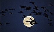 Photo of Wildlife and Nature, Grus grus, Spain - Grullas y luna
