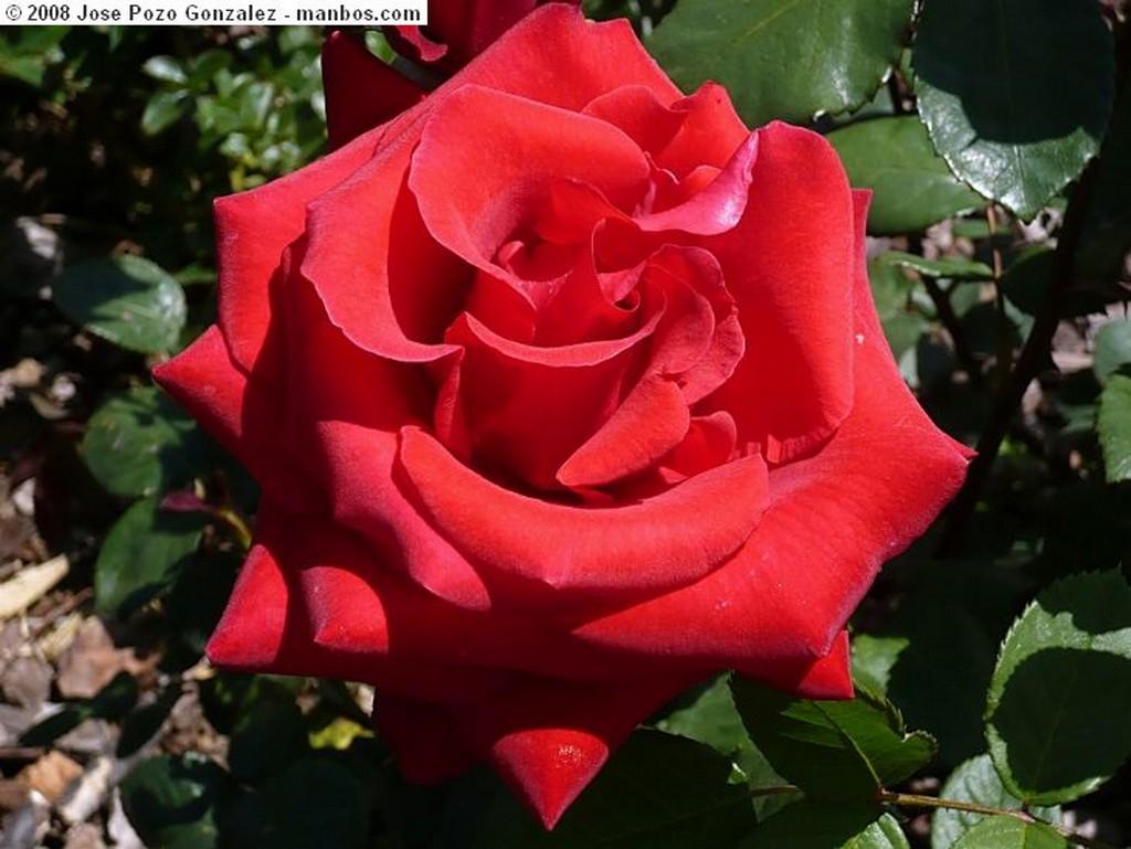 Barcelona Rosa roja Barcelona