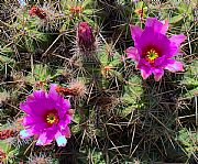 Camera DMC-G1 Flores de Cactus Jose Pozo Gonzalez Gallery GUATIZA Photo: 27059