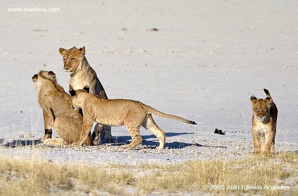 Etosha National Park Leona del grupo familiar de Aroe Namibia