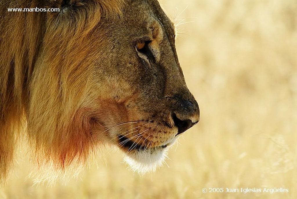 Etosha National Park Dos ejemplares de helmeted guineafowl Namibia