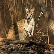 Camara Canon EOS 10D Wallaby Australia PARQUE NACIONAL NITMILUK Foto: 14584