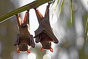 Camara Canon EOS 10D Zorros voladores Australia PARQUE NACIONAL NITMILUK Foto: 14581