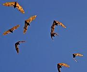 Camara Canon EOS 10D Zorros voladores Australia PARQUE NACIONAL NITMILUK Foto: 14580