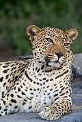Camara Canon EOS-1D Tsaobis Leopard Nature Park Namibia LEOPARD PARK Foto: 10008