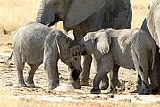 Camara Canon EOS-1D Crias de elefante jugando al lado de sus madres Namibia ETOSHA NATIONAL PARK Foto: 9992