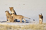 Camera Canon EOS-1D Grupo de leones jovenes pertenecientes al mismo grupo familiar Namibia ETOSHA NATIONAL PARK Photo: 9998