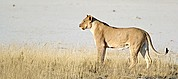 Camera Canon EOS-1D Leona del grupo familiar de Aroe Namibia ETOSHA NATIONAL PARK Photo: 9999