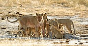 Camera Canon EOS-1D Todo el grupo familiar recibe a la leona dominante del grupo de Aroe, tra una caceria Namibia ETOSHA NATIONAL PARK Photo: 10003