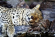 Camara Canon EOS-1D Tsaobis Leopard Nature Park Namibia LEOPARD PARK Foto: 10007