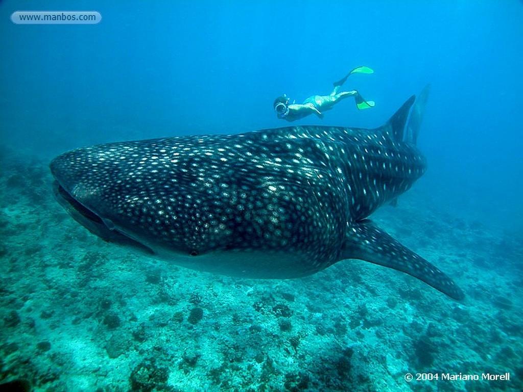 Maldivas Tiburon Ballena Maldivas