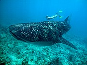Camera Nikon Coolpix 5000 Tiburon Ballena Maldivas from Mardigital MALDIVES Photo: 13765