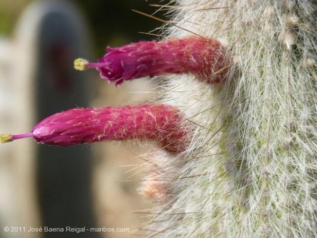 Benalmadena Inflorescencias de cactus Malaga