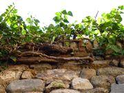 Foto de Malaga, Alcazaba , España  - Hiedras